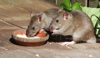 Ratos e outros roedores são os principais transmissores da leptospirose